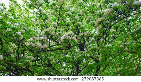 Blossoming tree. Spring flowering in warm and sunny spring day on a bright background of green foliage. - stock photo