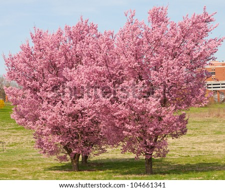 blossoming trees