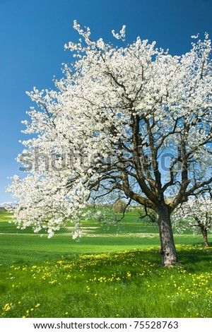 Blossoming trees in spring on green field.