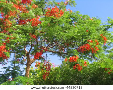 Blossoming tropical tree Royal Poinciana with beautiful red flowers - stock photo
