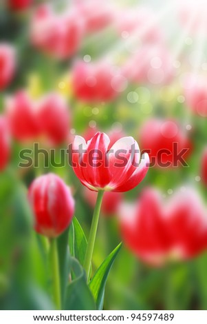 blossoming tulip flowers in the spring sunshine