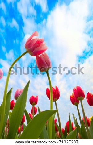 blossoming tulips from low angle with blue sky as background - stock photo