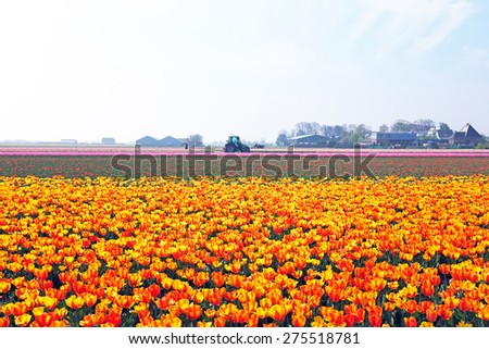 Blossoming tulips in the countryside from the Netherlands - stock photo