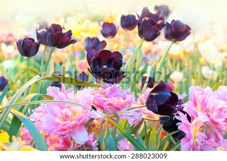 Blossoming  tulips of various grades in  sunny greenhouse - stock photo