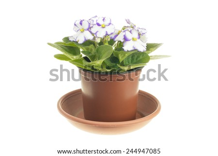 Blossoming violet with violet edges of the petals isolated on white background - stock photo