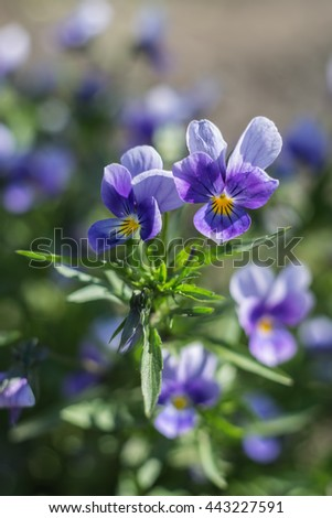 Blossoming violets on a blurred background with shallow depth of field