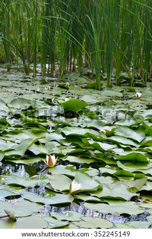 Blossoming Water-lily. Flowering Water lily and poplar fluff on the river Dnieper. - stock photo