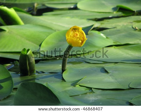 Blossoming Water-lily. Flowering Water lily yellow on the river Dnieper. Nuphar Luteum.