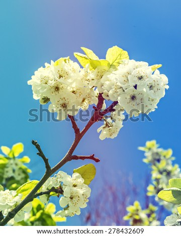 Blossoming white cherry tree. Image toned for inspiration of warm vintage style - stock photo