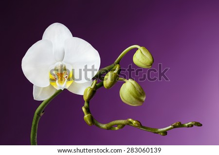 Blossoming White Tropical Orchid on Purple Background - stock photo