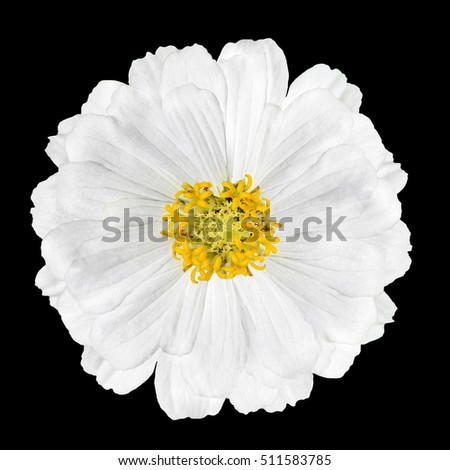 Blossoming White Zinnia Elegans Flower Isolated on Black Background