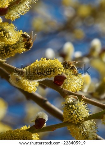 Blossoming willow in early spring on a background of blue sky      - stock photo