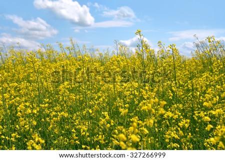 Blossoming yellow field full of rape flowers - stock photo
