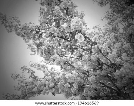 blossoms black and white, condolences card cover - stock photo