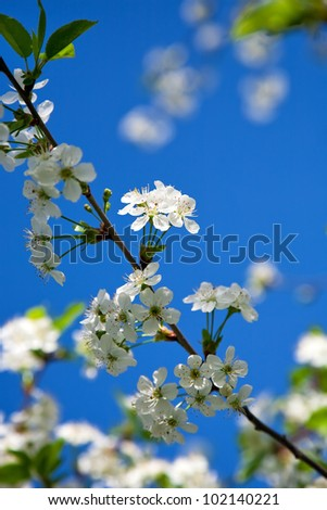 Blossoms cherry against blue sky - stock photo