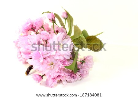Blossoms of a Japanese cherry against white background