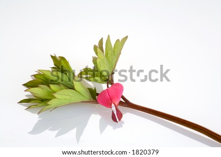 blossoms of a watery heart - stock photo