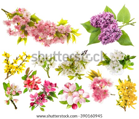 Blossoms of apple tree, cherry twig, pear, forsythia, lilac. Set of spring flowers isolated on white background - stock photo