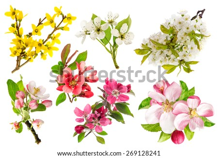 Blossoms of apple tree, cherry twig, pear, forsythia. Set of spring flowers isolated on white background.  - stock photo