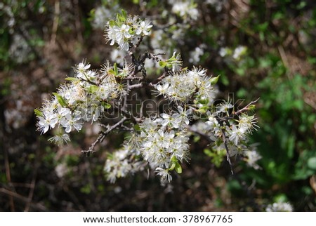 Blossoms of Hawthorn