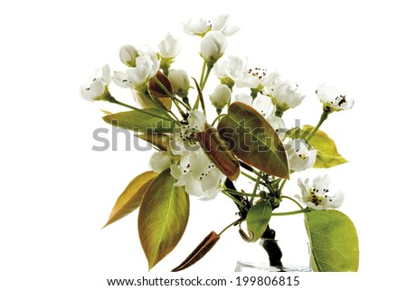 Blossoms of nashi pear (Pyrus pyrifolia), close-up