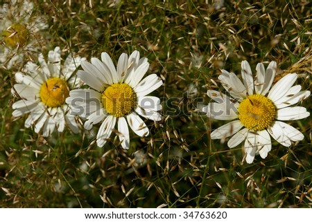 Blossoms of oxeye daisies in grass
