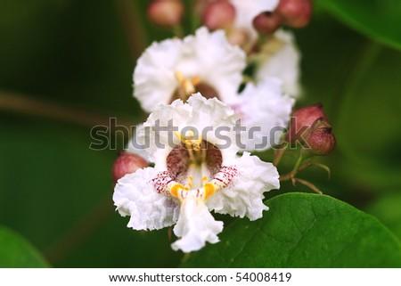Blossoms of the Catalpa Tree. Extreme shallow DOF. - stock photo