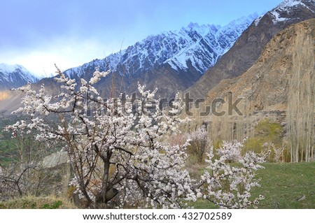 Blossoms season in the morning at Hunza valley , Northern Paksitan with Karakorum mountain  - stock photo