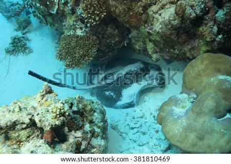 Blotched stingray (Taeniura meyeni) in the tropical coral reef of the indian ocean - stock photo