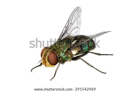 Blow fly (Lucilia caesar, Calliphoridae). Macro. Isolated on the white background - stock photo