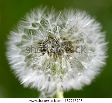 Blowball  - stock photo
