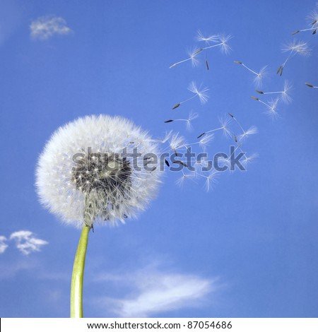 blowball and seeds in blue sky - stock photo
