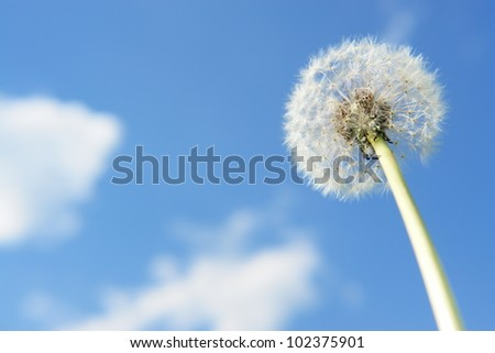 blowball dandelion clock at springtime in the wind - stock photo