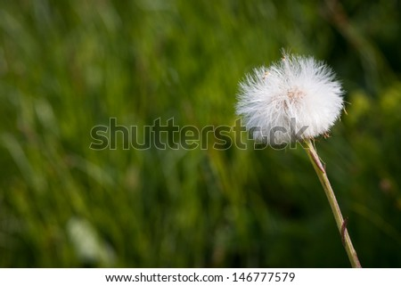 blowball dandelion with green background