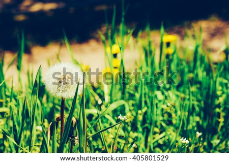 Blowball on meadow. White dandelion flower against the green grass nature background, shallow depth of field. Morning summer, spring landscape. - stock photo