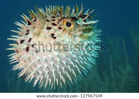 Blowfish or diodon holocanthus underwater in ocean in tropical destination - stock photo