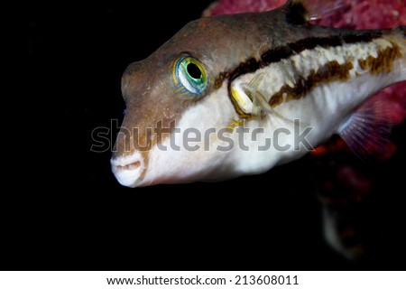 Blowfish or diodon holocanthus underwater in ocean in tropical destination. - stock photo