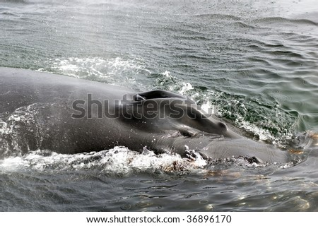 Blowholes of a Humpback Whale - stock photo