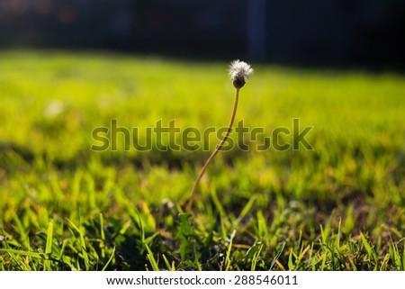 Blown dandelion Blown dandelion Blown dandelion - stock photo