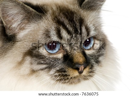 Blu-tabby-point Birman (18 months) in front of a white background - stock photo