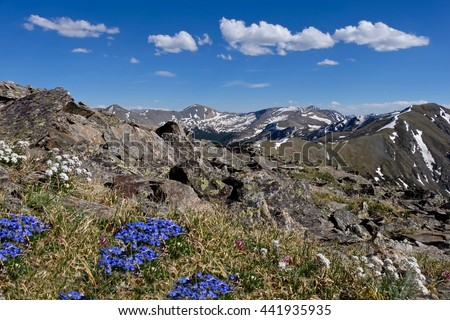 Blue alpine wild flowers in Rocky Mountains.  Forget-me-not at Cottonwood Pass near Buena Vista and Denver, Colorado, USA.  - stock photo