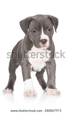 blue american staffordshire terrier puppy