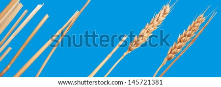 Blue. An ear is the grain-bearing tip part of the stem of a cereal plant. - stock photo