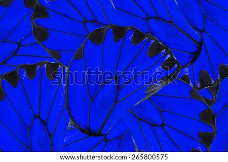 Blue and black background of beautiful golden Birdwing butterfly - stock photo