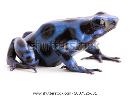 Blue and black poison dart frog , Dendrobates auratus from the tropical rain forest of Panama. Poisonous animal isolated on white background.