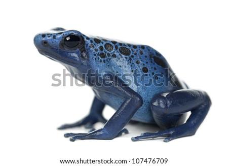 Blue and Black Poison Dart Frog, Dendrobates azureus, against white background - stock photo