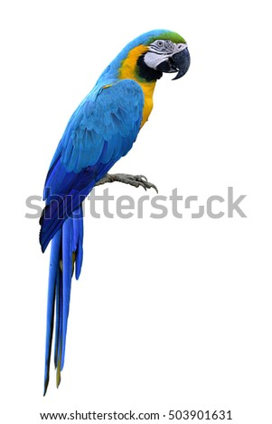 Blue-and-Gold(Ara ararauna) or Blue and yellow macaw, beautiful macaw parrot bird isolated on white background, fascinated animal