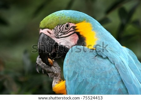 Blue and Gold Macaw bird eating a nut or seed - stock photo