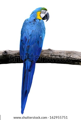 Blue and gold macaw bird in full body shot