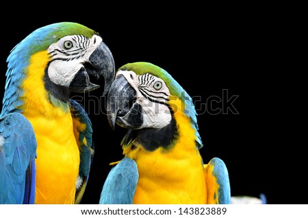 Blue and Gold Macaw facing each other with lovely stances on black background
